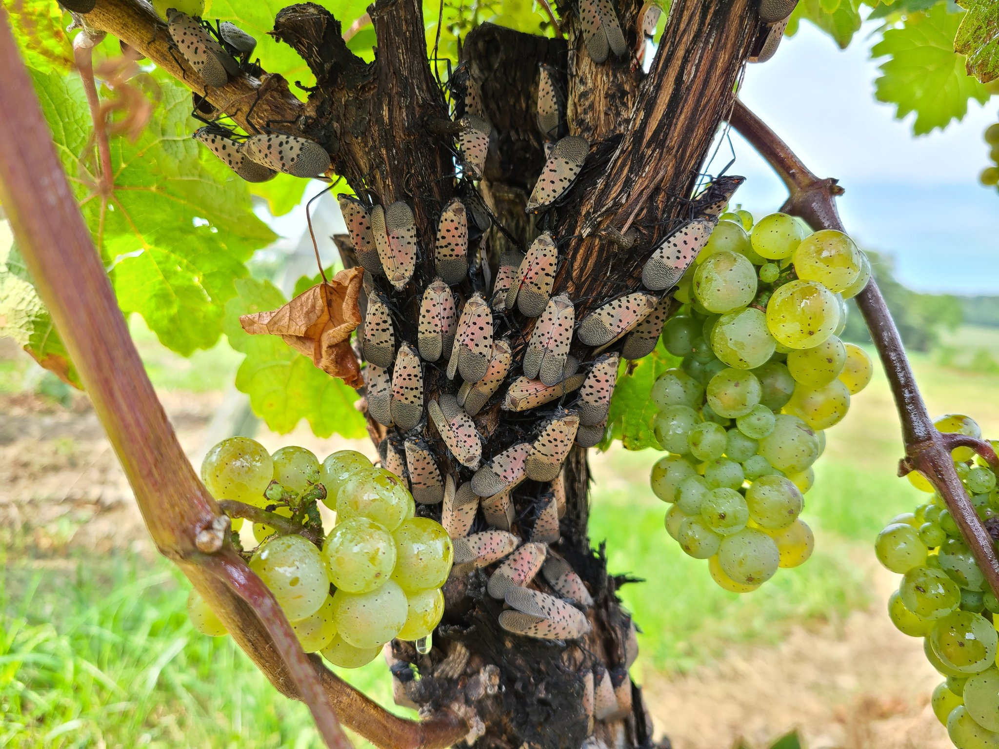 Grapvines infested with Spotted Lanternfly (Heather Leach)