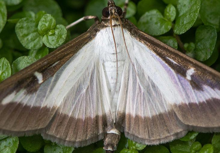 08192021_box tree moth_nys dept of ag